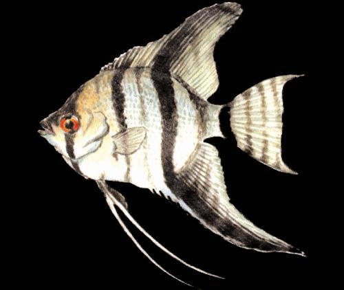 angelfish.jpeg