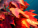 Redmapleleaves_4