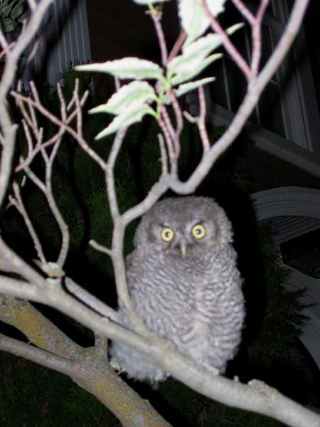 baby_owl