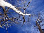 Leaflesstrees