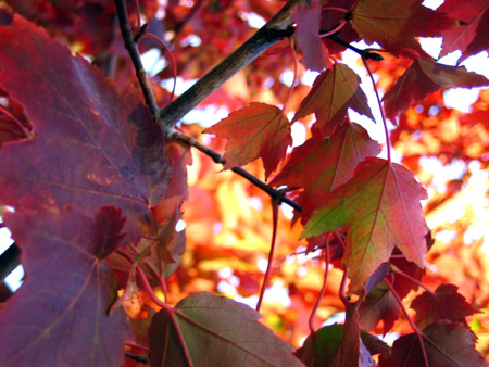 Red_maple_leaves_1